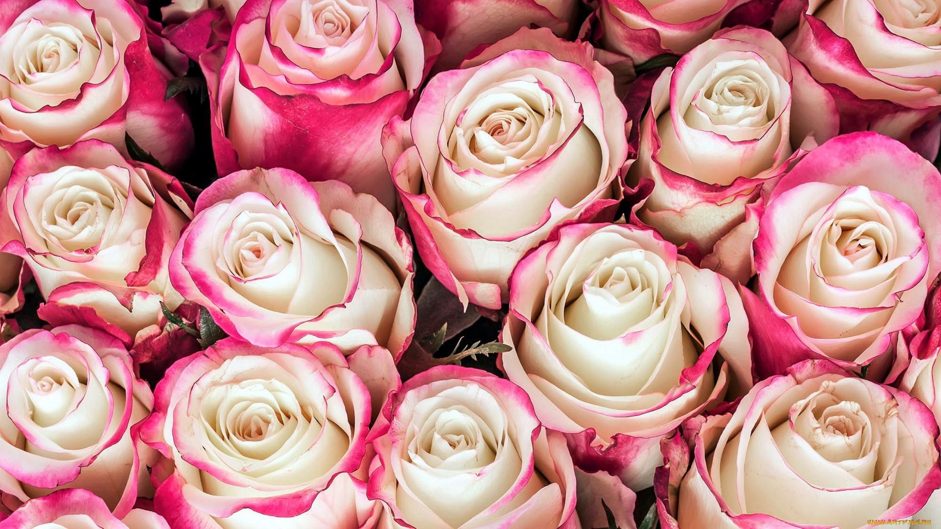 картинки на телефон большие розы только формы материалов