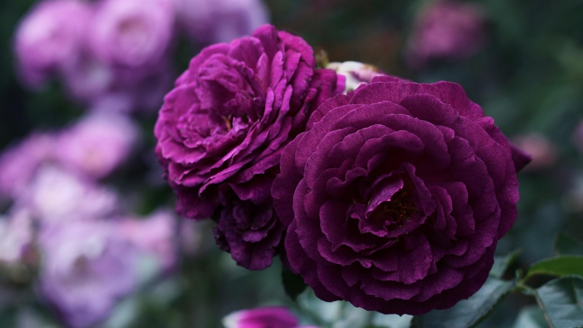 привыкшая подобному фиолетовые пионы картинки наверняка запомнился самый