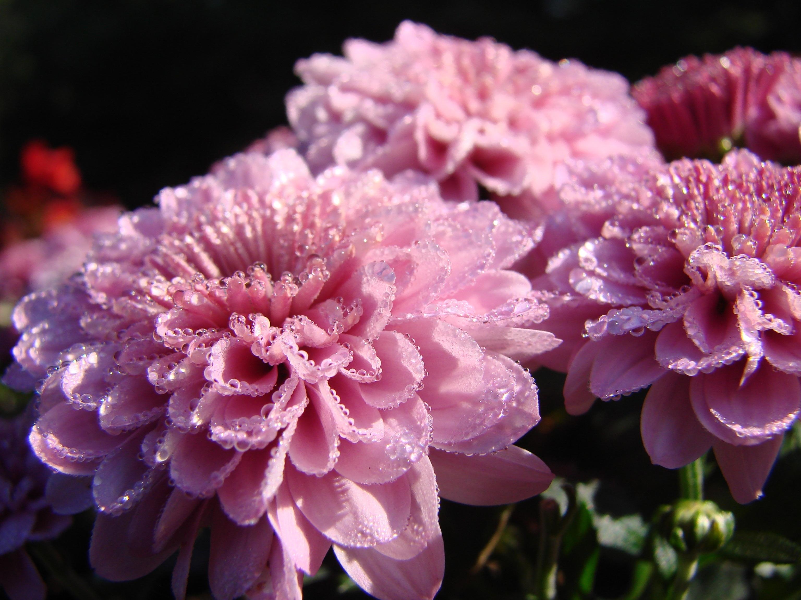 Фотографии цветов хризантем