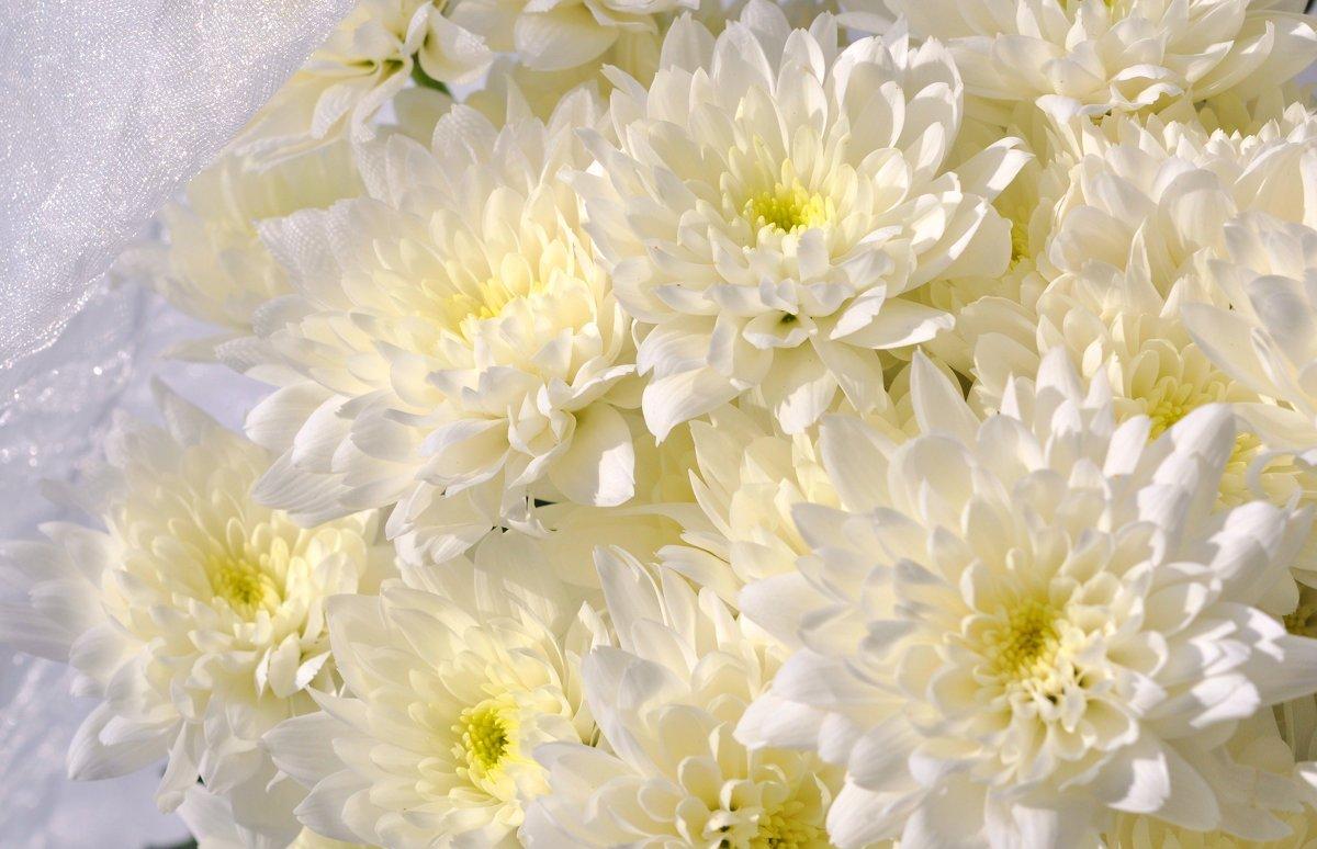 Белые хризантемы на фото и открытках, открытки добрым