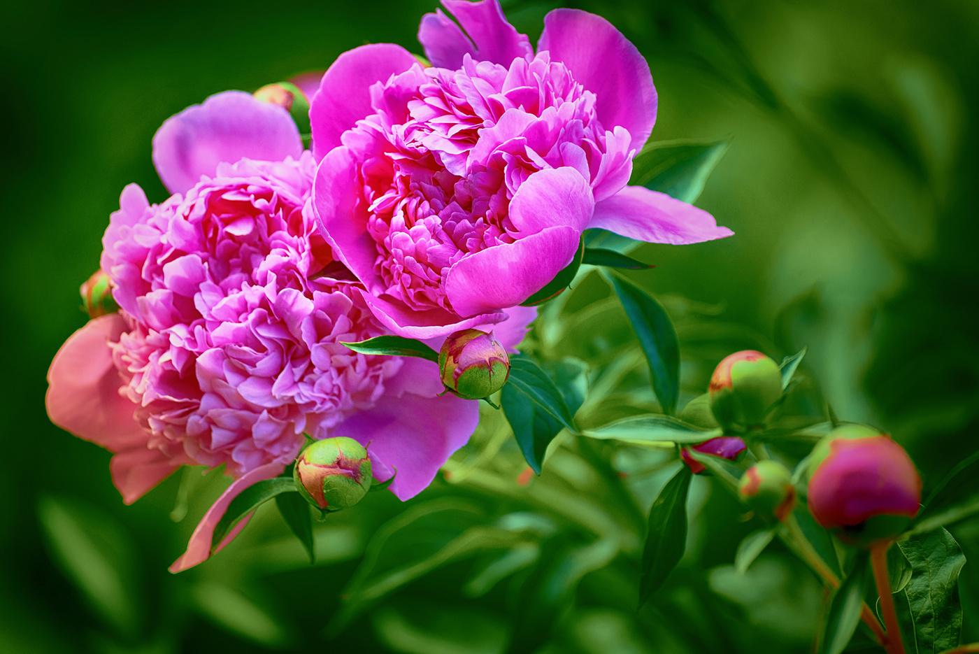 Цветущие пионы картинка
