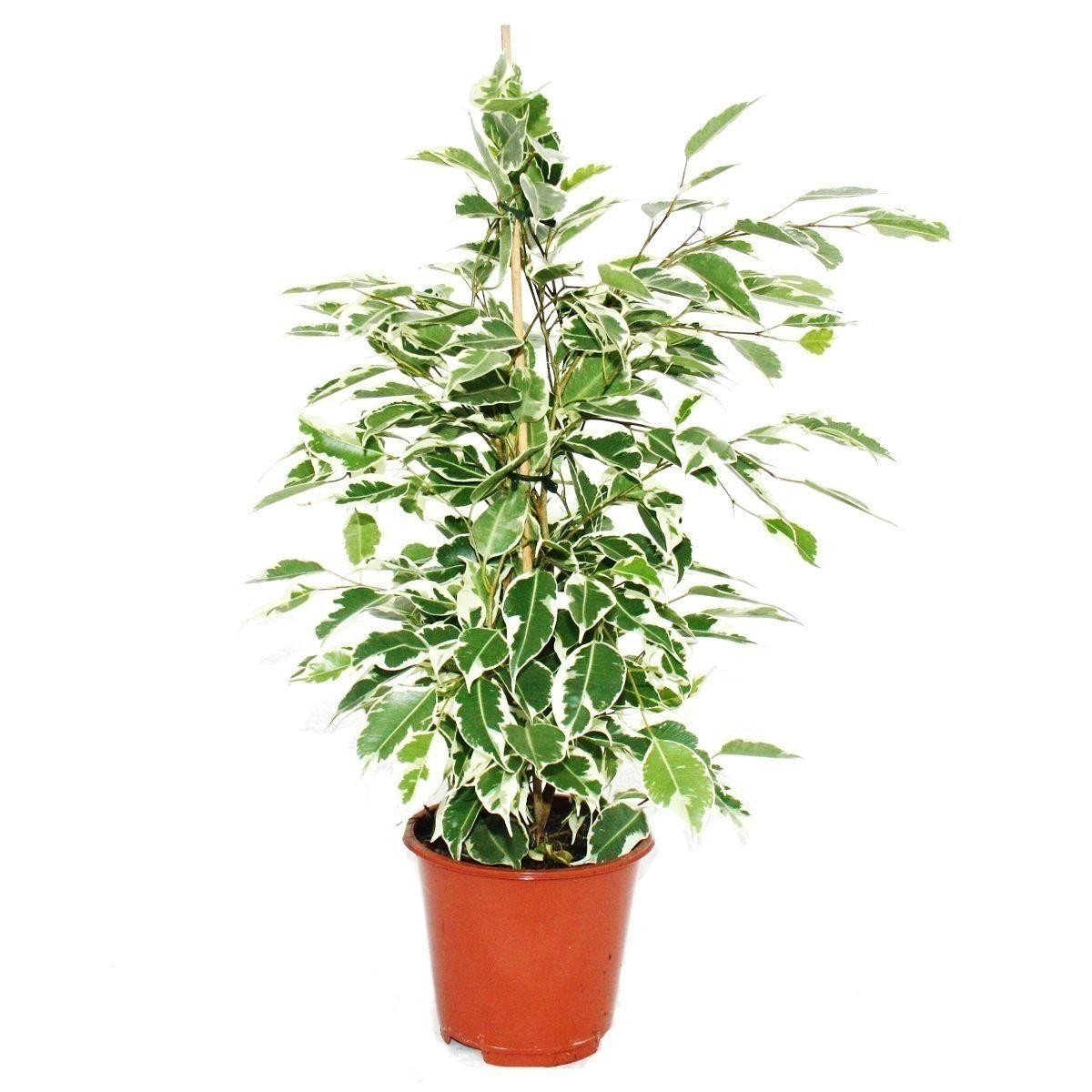 комнатное растение фикус бенджамина уход фото рэйнер известен благодаря
